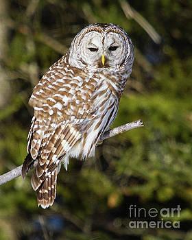 Enchanting Barred Owl by Lloyd Alexander