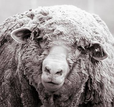 Endearment- Wooly Merino by Susie Gordon
