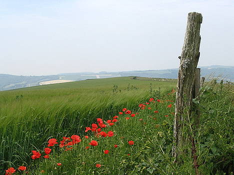 Yvonne Ayoub - England Sussex Poppy Field