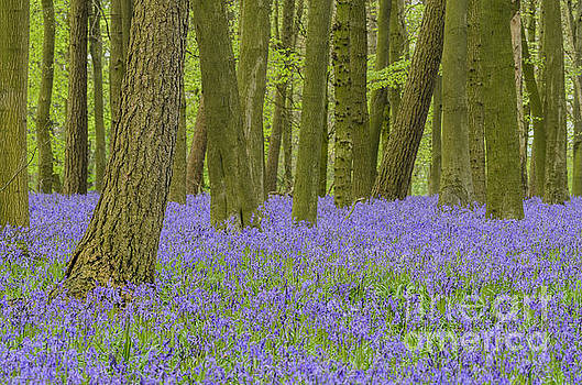 English Bluebell Woods by Michael  Winters