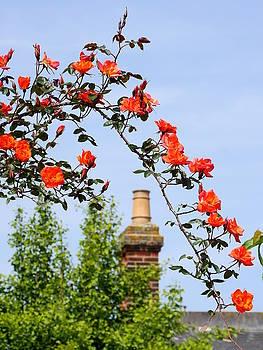 Richard Reeve - English Rambling Rose