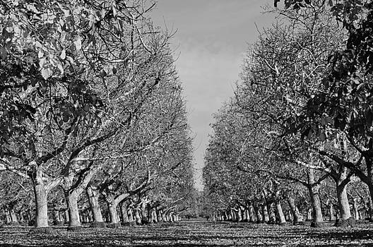 English Walnut Orchard  by Pamela Patch