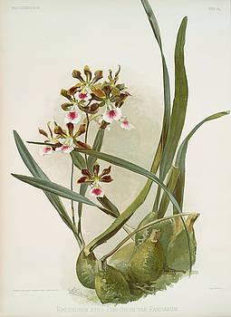 Ricky Barnard - Epidendrum Atro Purpureum Var Randianum