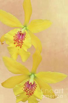 Epilaeliocattleya Don Herman Gold Rush V2 by Judy Whitton