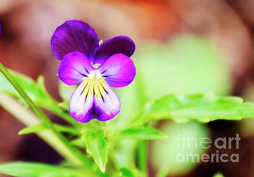 Essence Of The Wild Pansy by Janie Johnson