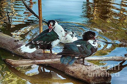 Estuary Ducks by Gerhardt Isringhaus