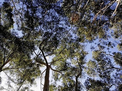 Eucalyptus Tree Canopy by Tracey Harrington-Simpson