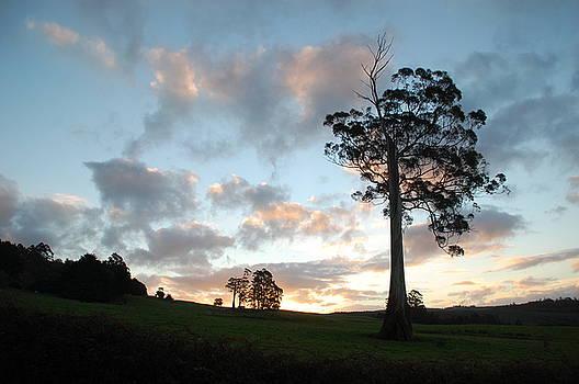 Eucalyptus Viminalis by Sarah King