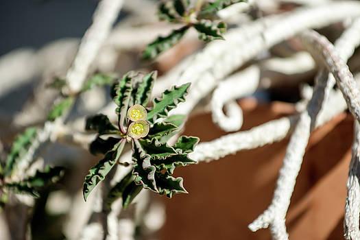 Euphorbia cap-saintemariensis by Tracy Winter