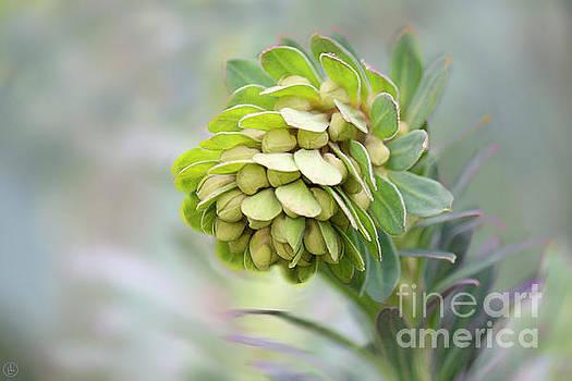 Euphorbia by Linda Lees