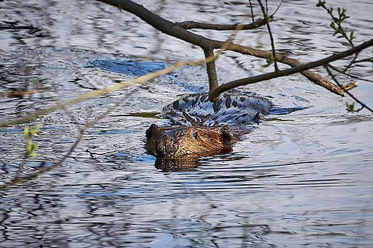 Eurasian beaver by Jouko Lehto