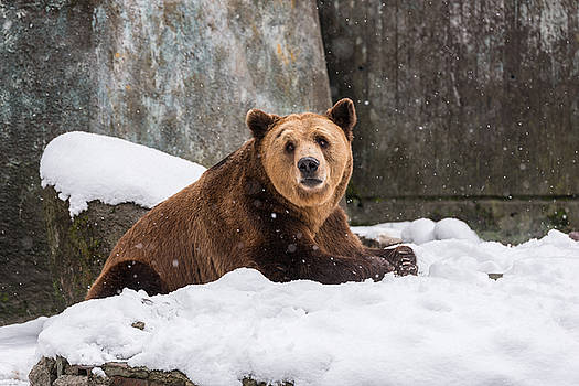 Eurasian brown bear  on the snow background by Julian Popov