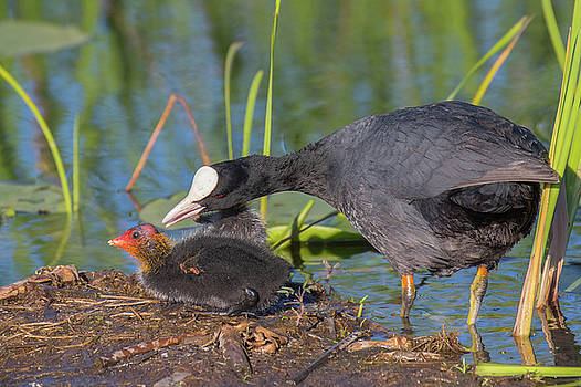 Eurasian coot - Fulica atra. Mamma and chick. It is so pretty an by Jivko Nakev