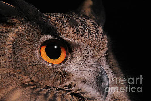 Eurasian Eagle-owl #3 by Judy Whitton