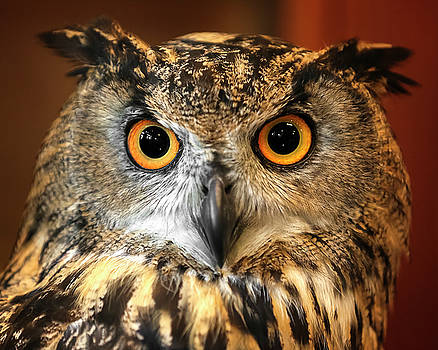 Eurasian Eagle Owl Closeup by Wes and Dotty Weber