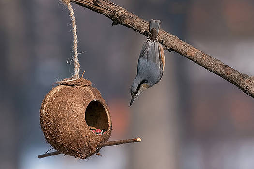 Eurasian nuthatch Sitta europaea taking nuts from bird feeder by Julian Popov