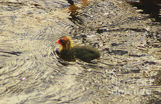 Eurasion Coot Chick by Cassandra Buckley