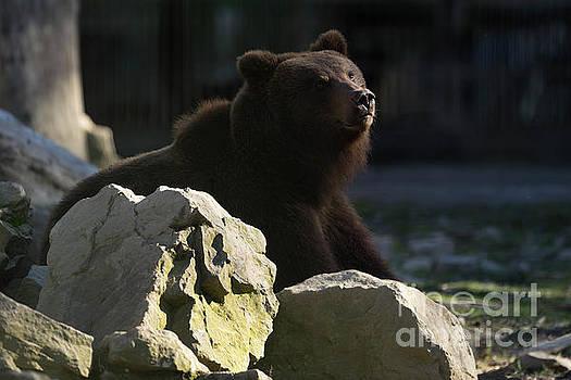European Brown Bear by Michael Lesiv
