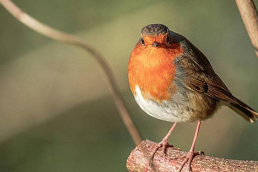 Darren Wilkes - European robin