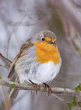 European robin tweeting on a tree branch in garden. by Julian Popov