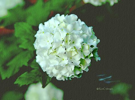 European Snowball/Single bloom by Kae Cheatham