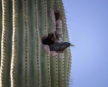European Starling Nesting-IMG_265218 by Rosemary Woods-Desert Rose Images