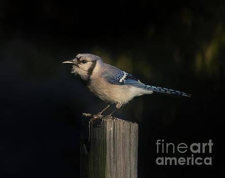 Evening Blue Jay by Robert Frederick