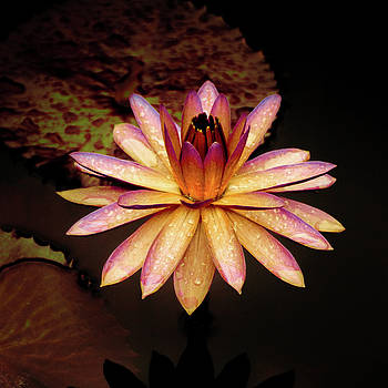 Julie Palencia - Evening Glow Water Lily