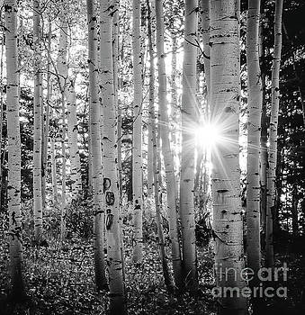 Evening In An Aspen Woods BW by The Forests Edge Photography - Diane Sandoval