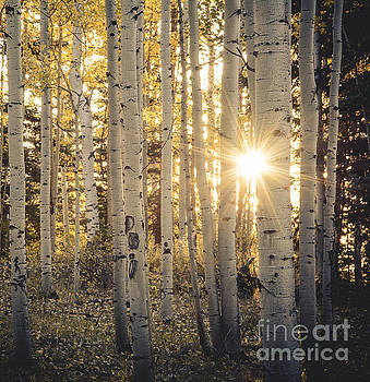 Evening in an Aspen Woods by The Forests Edge Photography - Diane Sandoval