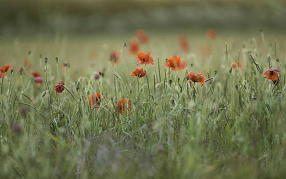 Evening Poppies by Wendy Chapman