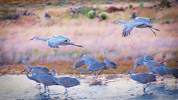 Evening Return, Sandhill Cranes by Flying Z Photography by Zayne Diamond