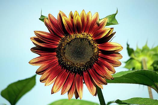 Evening Sun Sunflower 2016 #1 by Jeff Severson