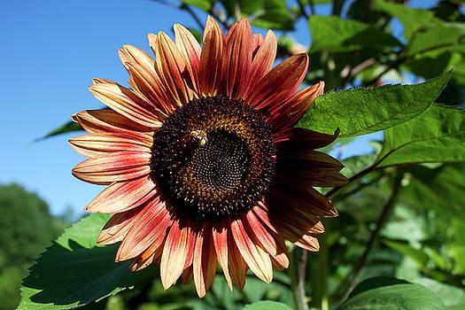 Evening Sun Sunflower 2016 #2 by Jeff Severson