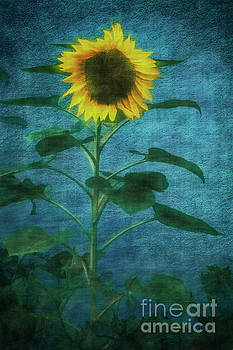 Evening Sunflower by Davy Cheng