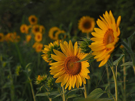 Evening Sunflowers by Paula Ponath