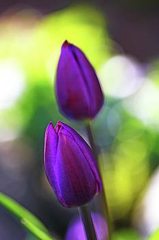 Debbie Oppermann - Evening Tulips