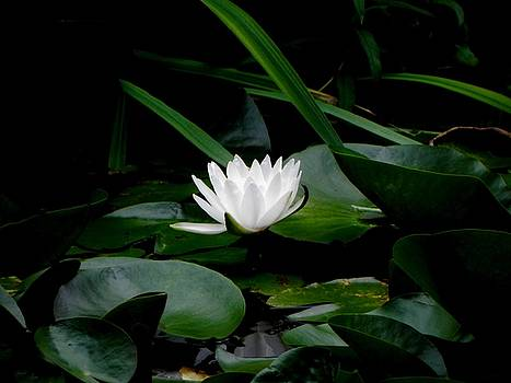 Evening Water Lily by Steve Rudolph