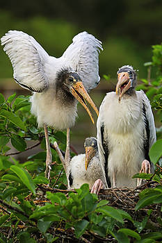Everglade Stork Family by Juergen Roth