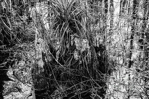 Bob Phillips - Everglades Cypress Knees 2