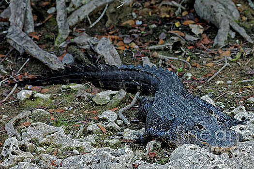 Everglades Gator by Natural Focal Point Photography