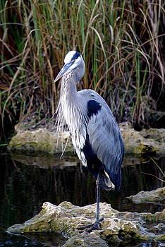 Marty Koch - Everglades Heron