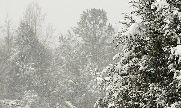 Evergreens Coated With Snow by Matt Taylor