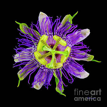 Ricardos Creations - Expressive Yellow Green and Violet Passion Flower 50674C