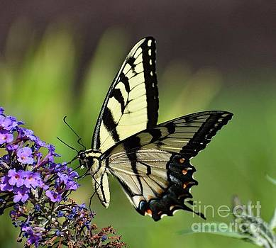 Cindy Treger - Exquisite Eastern Tiger Swallowtail