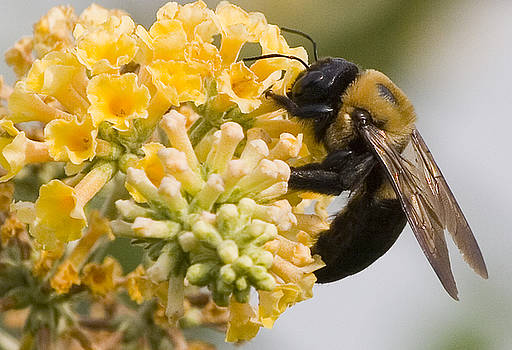 Extreme macro of a bee  by John Holloway