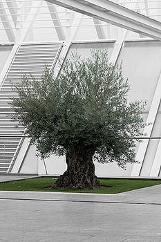 Extremely old olive tree surrounded by modern architecture bw an by Maximilian Wollrab