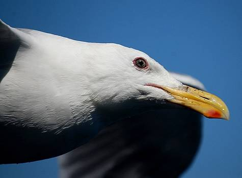 Sumoflam Photography - Eye of a Seagull