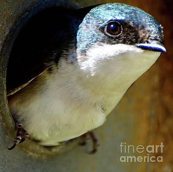 Eye Spy A Tree Swallow by Stephanie Bland