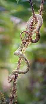 Eyelash Pit Viper Costa Rica by Joan Carroll